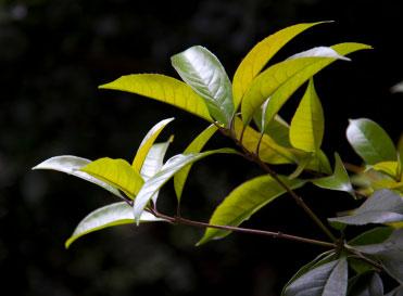 Применение эфирного масла чайного дерева.